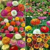 Seeds Zinnia Violacea Flowers – Refined Seeds – Pack of 30 High Germination Seeds