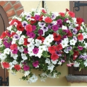 Seed – Petunia Mix Flower (No. of Pieces in the box 50)