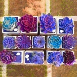 Egrow 200PCS Echeverione Succulent Seeds Mixed Color Garden Potted Flower Seed Home Deco Bonsai